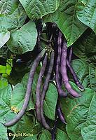 HS30-014x  Bean - pole bean - Trionfo variety