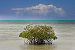 Mangrove, Ambergris Cay Island, Turks and Caicos Islands