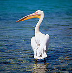 Greece, Cyclades, Mykonos: Pelican | Griechenland, Kykladen, Mykonos: Pelikan