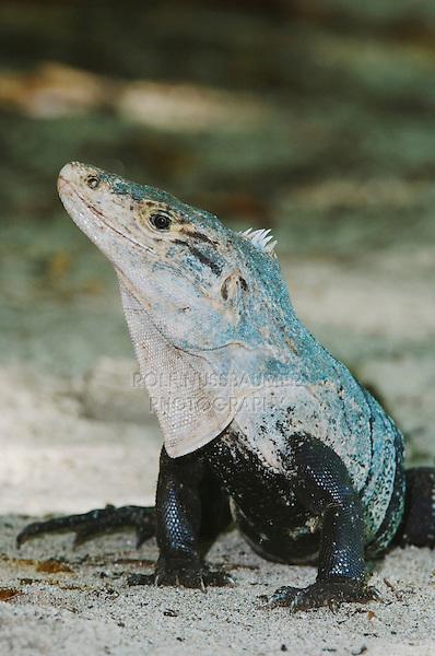 Black Iguana, Ctenosaur, Ctenosaura similis, adult, Manuel Antonio National Park, Central Pacific Coast, Costa Rica, Central America, December 2006