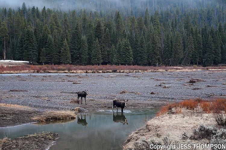 Moose crossing a stream, Yellowstone