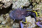 Splendid Toadfish, night dive, endemic to Cozumel, Mexico 2015
