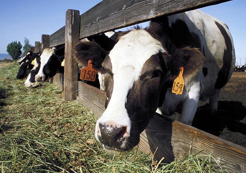 facial view of holstein cows eating at feed lot. California USA.
