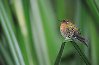 Tyrian Metaltail (Metallura tyrianthina), female perched, Papallacta, Ecuador, Andes, South America