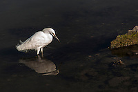 A Snowy egret is reflected in the waters of the Doolittle Pond wildlife sanctuary, part of the Martin Luther King Jr. Regional Park in Oakland, California.