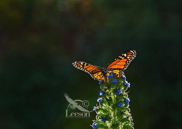 Monarch butterfly (Danaus plexippus) nectaring on garden flower, Big Sur Coastline, CA.  Fall.