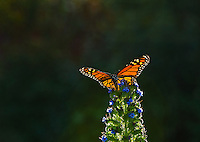 Monarch butterfly (Danaus plexippus) nectaring on garden flower, Big Sur Coastline, CA.  Fall.