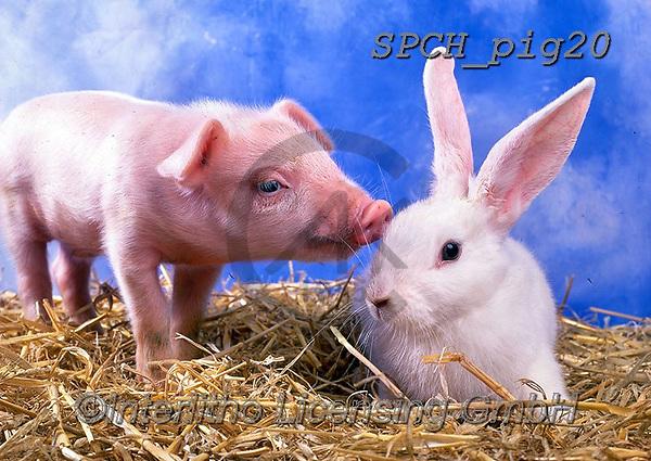 ANIMALS, REALISTISCHE TIERE, ANIMALES REALISTICOS, pigs, photos+++++,SPCHPIG20,#a#, EVERYDAY