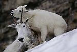 Mountain goat and kid, Glacier National Park, Montana