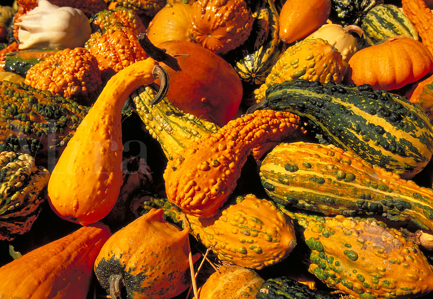 Assorted gourds and squash. Strasburg Pennsylvania USA Lancaster County.