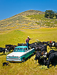 Jason Haase feeding cows from his 1968 Ford Pickup Truck, San Luis Obispo, California