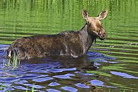 Moose cow wading through a beaver pond