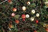Gewöhnliche Moosbeere, Moos-Beere, Früchte, Vaccinium oxycoccos, Wild Cranberry