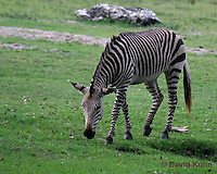 0209-08uu  Hartman's Mountain Zebra, Equus zebra hartmannae © David Kuhn/Dwight Kuhn Photography