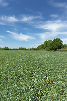 8-6-2021 Winter beans flowering<br /> Tim Scrivener Photographer 07850 303986<br />      ....Covering Agriculture In The UK....