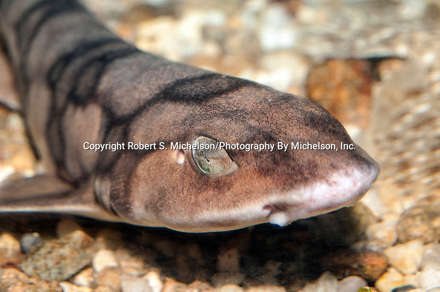 Chain Dogfish close-up