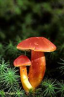DC26-002z  Mushroom - Waxy Cup's Scarlet Hood - Hygrocybe coccinea