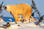 Polar bear and cubs (Ursus maritimus), Manitoba, CanadaOnly a few days out of their insulated, deeply dug den, these polar bear cubs are experiencing being outdoors for the first time while their mother watches the surroundings carefully, Churchill, Manitoba, Canada.