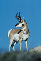 Pronghorn (Antilocapra americana), buck, Yellowstone National Park,Wyoming, USA