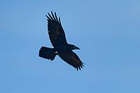 Common raven in flight in blue sky(Corvus corax) Nova Scotia, Canada