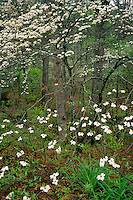 Flowering dogwood<br /> Chattooga National Wild and Scenic River<br /> Sumter National Forest<br /> South Carolina