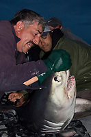 Emmerson Simpson, of Sharks Unlimited, struggles to control a porbeagle shark, Lamna nasus captured for research, while Joey Pratt, just behind him, from the Canadian Shark Conservation Society, collects parasite samples from the shark's skin, New Brunswick, Canada (Bay of Fundy)