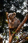 Koala perches in tree branch at Wildlife Sanctuary