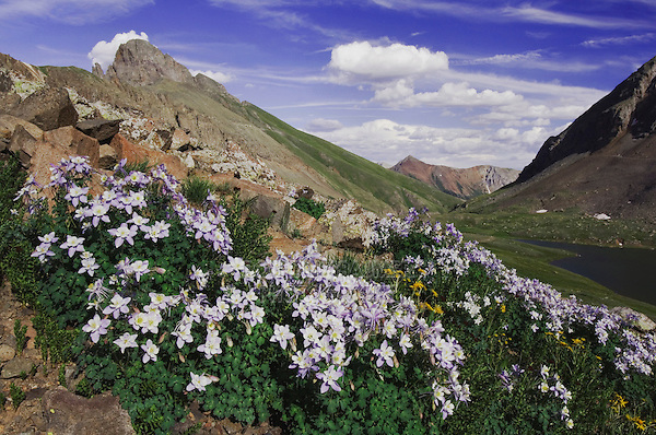Clear Lake and wildflowers in alpine meadow, Blue Columbine,Colorado Columbine,Aquilegia coerulea, Ouray, San Juan Mountains, Rocky Mountains, Colorado, USA