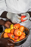 Farm Worker Removing Cashew Nut from Cashew Apple before Slicing the Fruit.   The Gambia