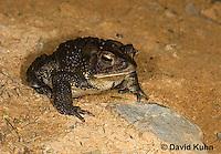 0304-0925  American Toad,  © David Kuhn/Dwight Kuhn Photography, Anaxyrus americanus, formerly Bufo americanus