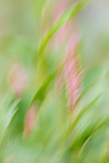 Smartweed blurred by the wind and camera movement to form a painterly image.