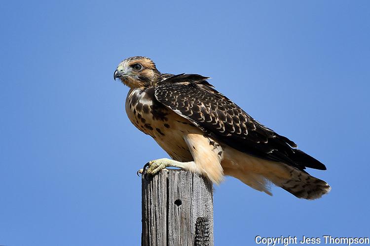 Immature Swainson's Hawk, Texas roadside south of Fort Stockton