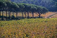 Europe/Provence-Alpes-Côte d'Azur/83/Var/Ile de Porquerolles: Vignes (AOC Côte de Provence) et pins parasols
