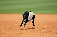 Greensboro Grasshoppers bat dog Miss Lou Lou Gehrig runs the bases after a game against the Lakewood BlueClaws on June 10, 2018 at First National Bank Field in Greensboro, North Carolina.  Lakewood defeated Greensboro 2-0.  (Mike Janes/Four Seam Images)
