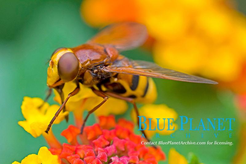 hoverfly, Syrphus ribesii, on flower, Chalkidiki, Greece