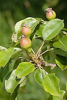 Wilde Birne, Wildbirne, Wilder Birnbaum, Holzbirne, Holz-Birne, Pyrus pyraster, Wild Pear, Poirier sauvage