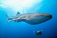 Whale shark, Rhincodon typus, Cocos Island, Costa Rica, Pacific Ocean
