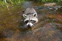 """Waschbär, etwa 4 Monate altes Jungtier sammelt erste Erfahrungen mit dem Element Wasser, Tierkind, Tierbaby, Tierbabies, Männchen, Rüde, Waschbaer, Wasch-Bär, Procyon lotor, Raccoon, Raton laveur, """"Frodo"""""""