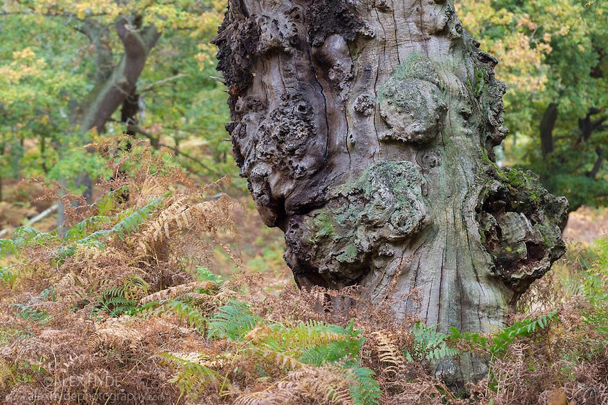 Veteran English Oak tree {Quercus robur}, showing area of dead wood that is an imporant habitat for a huge range of invertebrates. Sherwood Forest National Nature Reserve, Nottinghamshire, UK. October.