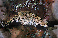 640514004 a wildlife rescue geoffroy's cat felis geoffroyi pauses at a rock bound pond for a drink species is native to southeast asia