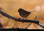 White-crowned Sparrow Juvenile, Bosque del Apache Wildlife Refuge, New Mexico