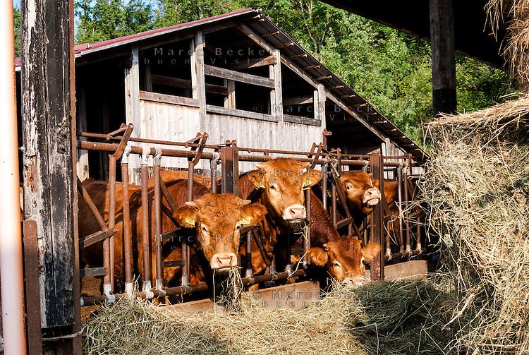 Pozzallo frazione di Romagnese (Pavia). Cooperativa Agricola Canedo: allevamento semibrado di bovini da carne. Mucche mangiano fieno alla stalla --- Pozzallo Romagnese (Pavia). Canedo Agricultural Cooperative: semi-wild breeding of beef cattle. Cows eating hay at the stable
