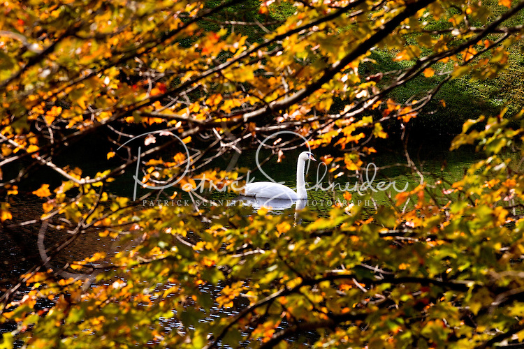 A swan glides through the water during an autumn day at Chetola Lake Resort in Blowing Rock, NC.