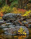 Indian Rhubarb, Dogwood, Merced River, Yosemite National Park, California