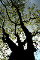 Silhouette of a tree trunk with new growth in springtime, Ardèche, France.