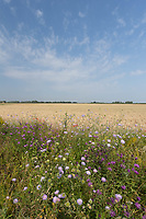 20-7-2021 Field margin in Lincolnshire  <br /> ©Tim Scrivener Photographer 07850 303986<br />      ....Covering Agriculture In The UK....