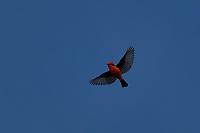 Vermillion Flycatcher in flight, Big Bend National Park
