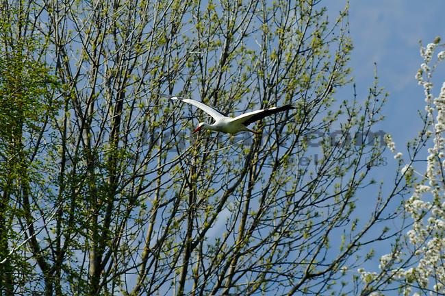 Storchennest, Stork nest, Stork, Storch, Weißstorch, Ciconia ciconia, Ciconiidae, Schaan, Liechtenstein