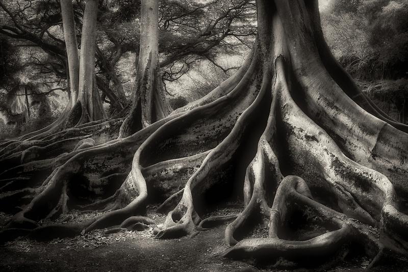 Morton Bay Fig Trees.  Alerton Gardens. In jurassic Park film