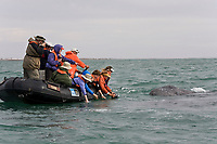 whale watchers with California Gray whale (Eschrichtius robustus) calf in San Ignacio Lagoon on the Pacific Ocean side of the Baja Peninsula, Baja California Sur, Mexico. Each winter thousands of California gray whales migrate from the Bering and Chukchi seas to breed and calf in the warm water lagoons of Baja California. San Ignacio lagoon is the smallest of the three major such lagoons. Current (2008) population estimates put the California Gray whale at between 20,000 and 24,000 animals.